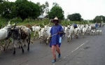 Fulani crisis: Peasant farmers push for cattle ranching law